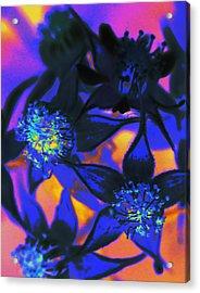 Blackberry Flowers Sunset Neon Acrylic Print