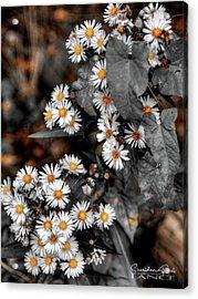 Blended Daisy's Acrylic Print
