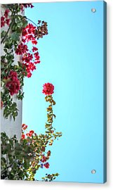 Blooming Beauty Acrylic Print