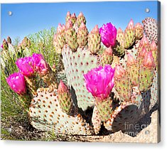 Blooming Beavertail Cactus In Mojave Acrylic Print