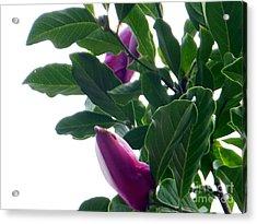 Blossoming Magnolias Acrylic Print