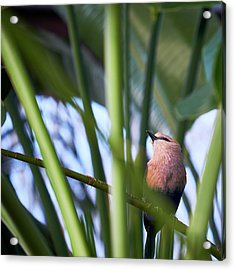 Acrylic Print featuring the photograph Blue-bellied Roller by Whitney Goodey