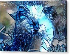 Blue Himmy Cat Acrylic Print