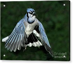 Acrylic Print featuring the photograph Blue Jay by Debbie Stahre