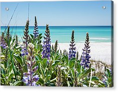 Blue Lupine On The Beach Acrylic Print