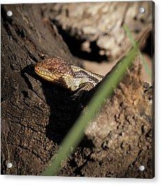 Blue Tongue Lizard Acrylic Print