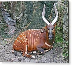 Acrylic Print featuring the photograph Bongo by PJ Boylan
