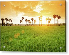 Borassus Flabellifer Field Acrylic Print by Jethuynh