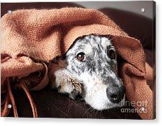 Border Collie  Australian Shepherd Dog Acrylic Print