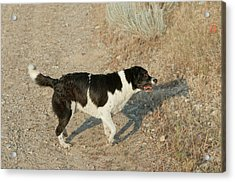 Border Collielabrador Retriever Mix Acrylic Print by William Mullins