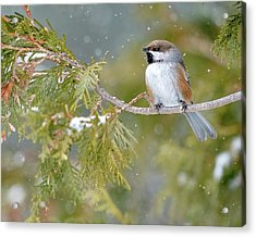 Boreal Chickadee In Winter Acrylic Print