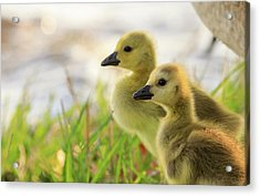 Boston Goslings Acrylic Print