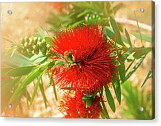 Bottlebrush Bloom Acrylic Print