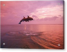 Bottlenose Dolphins Tursiops Truncatus Acrylic Print by Design Pics / Stuart Westmorland