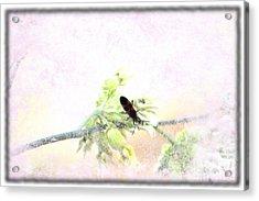 Boxelder Bug In Morning Haze Acrylic Print