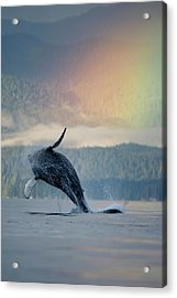Breaching Humpback Whale And Rainbow Acrylic Print