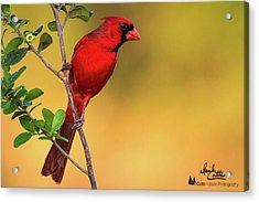 Bright Red Cardinal Acrylic Print