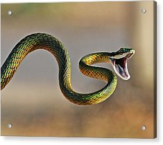Brightly Coloured Parrot Snake Acrylic Print by Suebg1 Photography