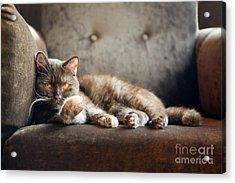 British Cat At Home Acrylic Print