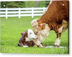 Brown & White Hereford Cow Licking Acrylic Print by Emholk