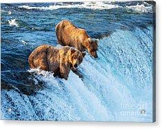 Brown Bear On Alaska Acrylic Print