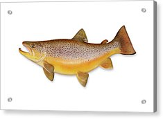 Brown Trout With Clipping Path Acrylic Print by Georgepeters