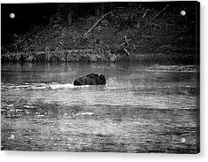 Buffalo Crossing Acrylic Print