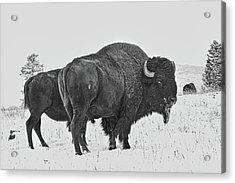 Buffalo In The Snow Acrylic Print