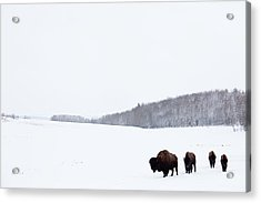 Buffalo Or Bison On The Plains In Winter Acrylic Print by Imaginegolf