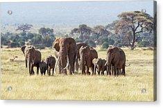 Bull Elephant With A Herd Of Females And Babies In Amboseli, Kenya Acrylic Print