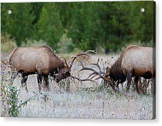 Acrylic Print featuring the photograph Bull Elk Battle Rocky Mountain National Park by Nathan Bush
