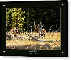 Acrylic Print featuring the photograph Bull Elk by Pete Federico