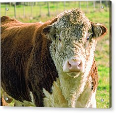 Bull In The Country Side Of Tasmania. Acrylic Print