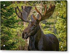 Bull Moose Glamour Shot Acrylic Print