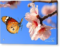 Butterfly And Pink Almond Tree Blossom Acrylic Print