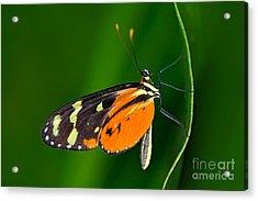 Butterfly Heliconius Hacale Zuleikas Acrylic Print by Ondrej Prosicky