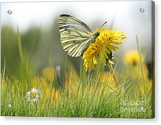 Butterfly On Dandelion Acrylic Print