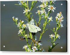 Cabbage White Butterfly On Flowers Acrylic Print