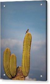 Cactus Wren Acrylic Print