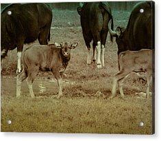 Calf Posing Acrylic Print