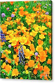 California Poppies And Betham Lupines Southern California Acrylic Print