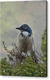Acrylic Print featuring the photograph California Scrub Jay - Vertical by Patti Deters