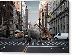 Camel, Elephant And Giraffe Crossing Acrylic Print
