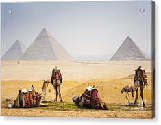 Camels With Pyramid Acrylic Print