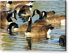 Acrylic Print featuring the photograph Canada Geese by Debbie Stahre