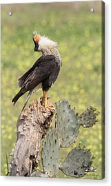 Caracara Head Throw Acrylic Print