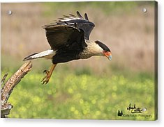 Caracara Taking Off Acrylic Print