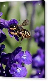 Carder Bee On Salvia Acrylic Print