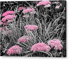 Carved Pink Butterfly Bush Acrylic Print