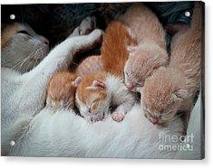 Cat Nursing Her Kittens Acrylic Print
